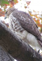 Red Tailed Hawk in Union Square